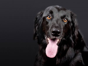 Assistentiehonden in opleiding overal toegelaten in Brussel
