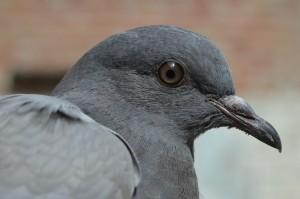 Wrede behandeling verwilderde duiven